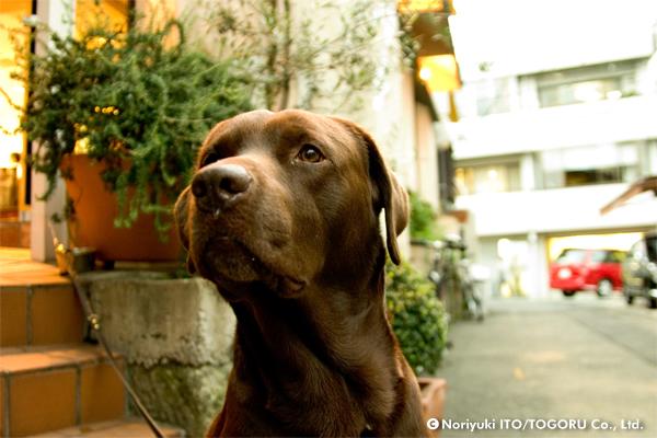 主人の方をずっと見ている茶色い大きな犬