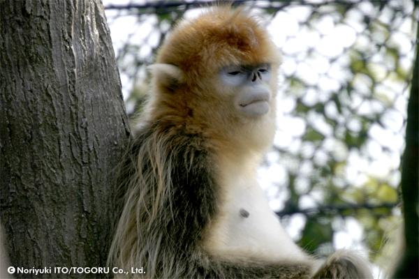 金絲猴(きんしこう)