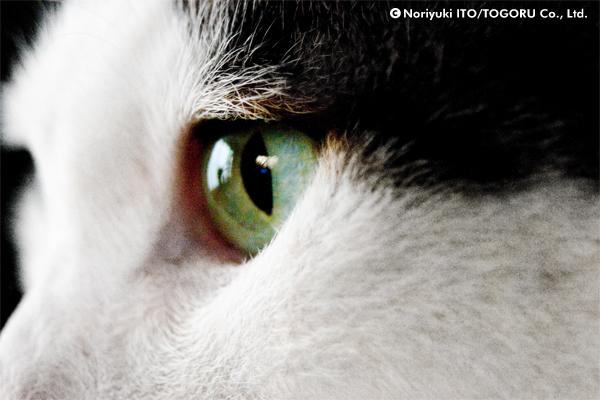目に力のある猫の横顔