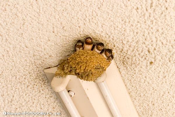 お行儀良く巣立ちの順番を待つツバメの雛たち