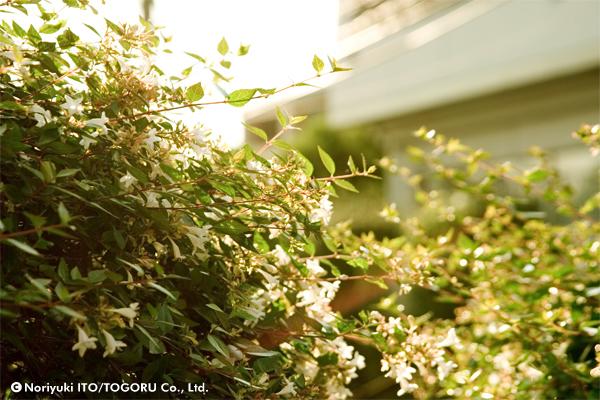 小さくて白い花をたくさんつけた低木